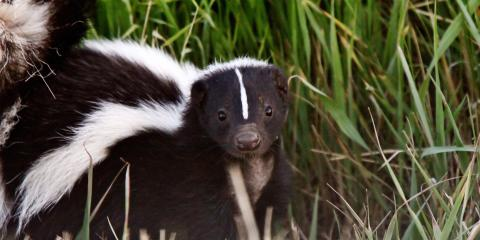 How to Deal With Skunks on Your Property, New Braunfels, Texas