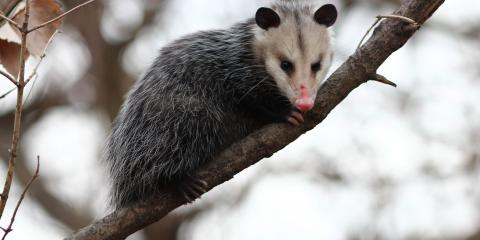 4 Facts Everyone Should Know About Opossums, New Milford, Connecticut