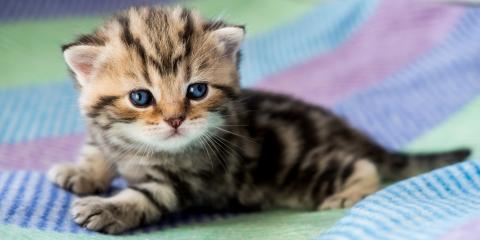 5 New Kitten Pet Care Tips, Honolulu, Hawaii