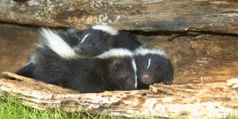 Where Do Skunks Commonly Hide?, New Milford, Connecticut