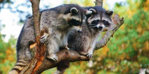 3 Ways to Deal With an Aggressive Raccoon, New Milford, Connecticut