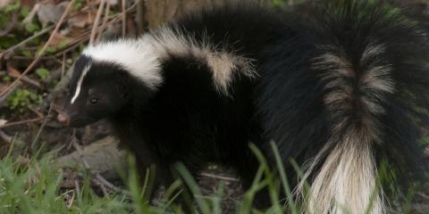 3 Factors That Can Attract Skunks to Your Yard, New Milford, Connecticut
