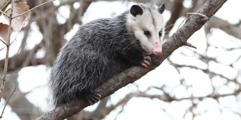 3 Reasons to Appreciate the Opossum, New Milford, Connecticut