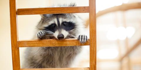 What to Do When Raccoons Get Inside Your Home, New Milford, Connecticut