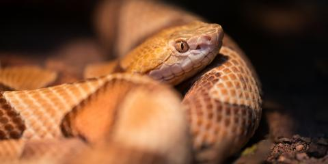 What You Need to Know About Identifying Venomous Snakes, New Milford, Connecticut