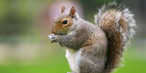 What You Need to Know About Squirrel Removal, New Milford, Connecticut
