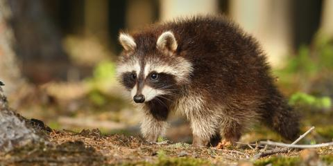 3 Reasons to Schedule Raccoon Removal Services, New Milford, Connecticut