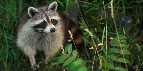 Animal Removal Experts Share the Top 3 Types of Plants To Ward Off Raccoons, New Milford, Connecticut