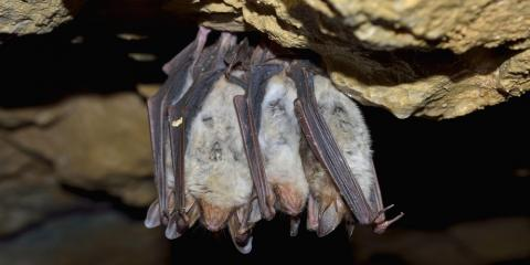 Local Bat Removal Experts Discuss Whether Bats Attack Humans , New Milford, Connecticut