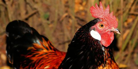 KFC's Chicken Scented Sunscreen is Nothing to Crow About, Manhattan, New York