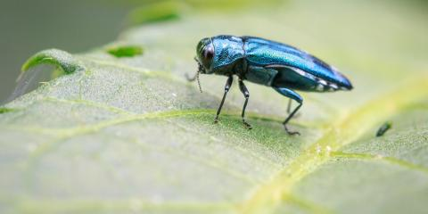 A Quick Guide to Emerald Ash Borers, Nicholasville, Kentucky
