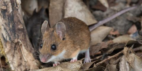 A Guide to Wildlife Removal: Signs Mice or Rats Are in Your Home, Roxbury, New Jersey