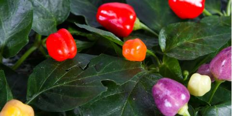 Local Greenhouse Shares 4 Tips for Caring for Ornamental Pepper Plants, Colerain, Ohio