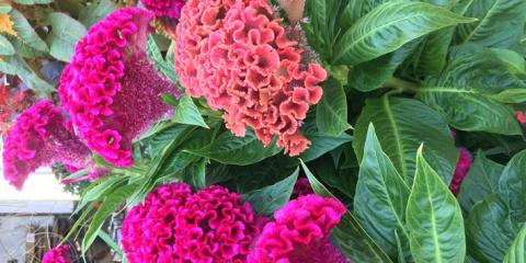 Flower Power: September Celosia Deal, Colerain, Ohio
