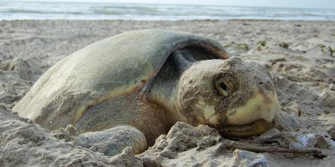 A Guide to Visiting the Gulf Shores During Sea Turtle Nesting Season, Gulf Shores, Alabama