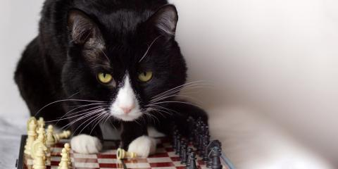 Why Do Cats Knock Over Household Items?, O'Fallon, Missouri