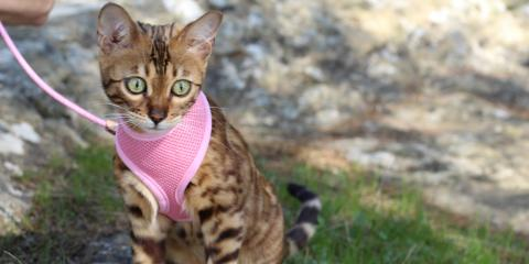 3 Tips to Walk Your Cat, Honolulu, Hawaii