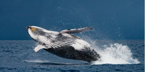 3 Fun Facts About Humpback Whales, Waianae, Hawaii
