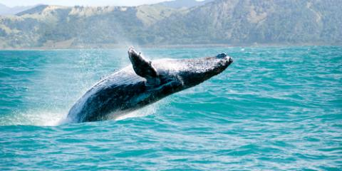 3 Facts You Should Know Before You Go Humpback Whale Watching, Ewa, Hawaii