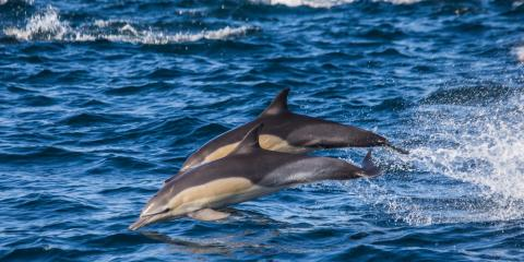 Dolphin-Watching Basics: What Are the Differences Between Bottlenoses & Spinners?, Ewa, Hawaii