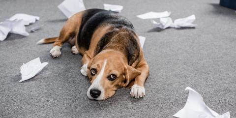 Dealing With Separation Anxiety in Dogs, O'Fallon, Missouri