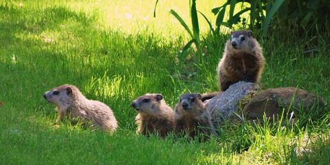 Groundhogs 101: Habits & Safe Wildlife Removal Tips, Miami, Ohio