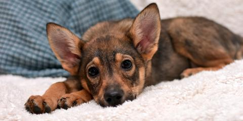 4 Common Puppy Health Concerns, Elyria, Ohio