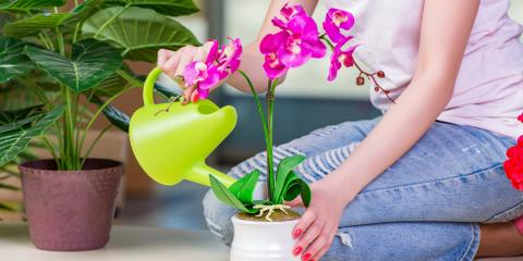 Growing Phalaenopsis Orchids - Basic Care, ,