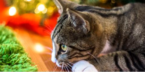 Veterinarian Explains How to Keep Your Pets Safe This Holiday Season, Lincoln, Nebraska