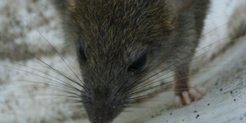 How to Get Rid of a Mouse in the House With Perry's Top Exterminator, Perry, Georgia