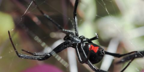 Pest Control Company Shares 3 Spiders to Watch out for This Summer, Jefferson City, Missouri