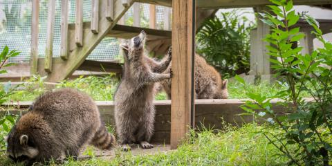 3 Fun Facts About Raccoons, Mooresville, North Carolina