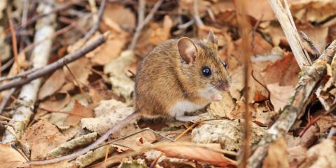 How to Keep Mice Out of Your Home This Winter, New Braunfels, Texas