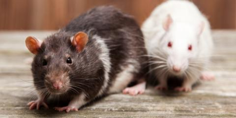 3 Key Facts About Rodents From Cincinnati's Pest Control Experts, Hebron, Kentucky