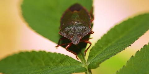 Pest Control Experts Explain the Stink Bug Problem, Rochester, New York