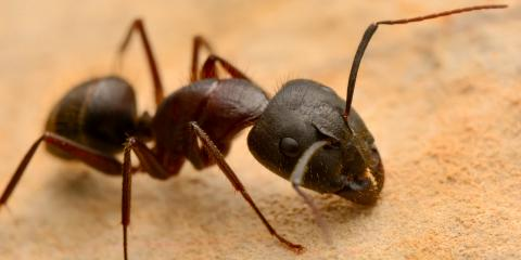 Know Your Enemy: Common Questions About Hawaii Ants, Lihue, Hawaii