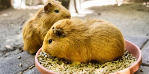 How to Keep Your Guinea Pig Healthy, ,