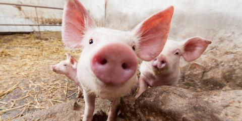4 Tips to Keep Pigs Cool in Summer, Bethel, Ohio
