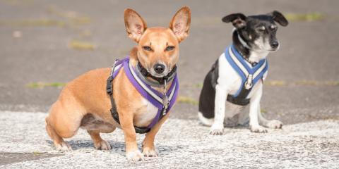 Comparing Pet Supplies: Leashes Versus Harnesses, Manhattan, New York