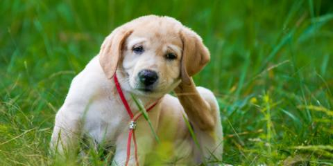 3 Health Issues Fleas Can Cause in Your Pet, ,