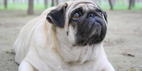 How Can You Tell if Your Pet is Obese?, Mililani Mauka, Hawaii