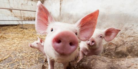 3 Surprising Advantages of Using Pig Flush Pans in Your Livestock Facility, Seventy-Six, Iowa