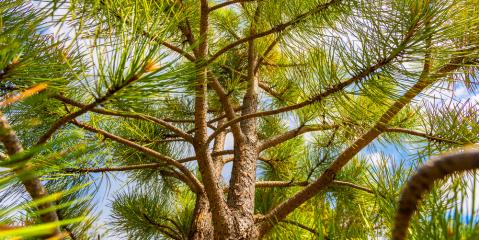 Everything You Need to Know About Pine Tree Trimming, Owings Mills, Maryland