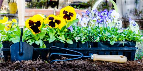 5 Plant Health Problems Affecting Pansies, Bellville, Texas