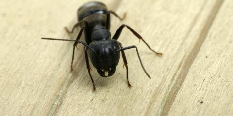 A Guide to the Dangers of Carpenter Ants, Port Orchard, Washington