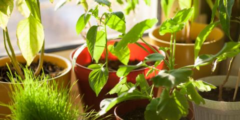 Greenhouse Experts Explain: Is it Possible to Grow Herb Plants Indoors?, Quaker City, Ohio