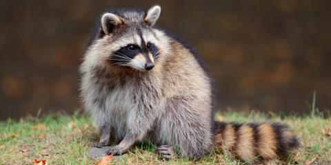 What to KnowAbout Raccoon Removal, Ogden, New York