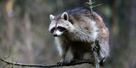 how to know if raccoons in attic