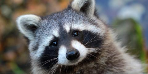 Raccoon Control: How the Sneaky Creatures Gain Access to Your Home, Miami, Ohio