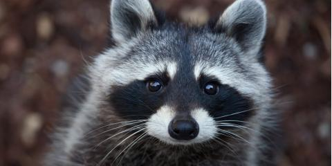 5 Diseases Raccoons Carry & Why Animal Removal is Important, New Milford, Connecticut